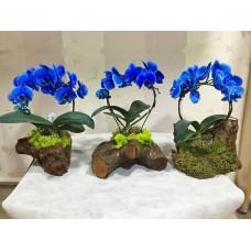 Kütük Saksıda Mavi Orkideler