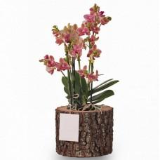 Kütük Saksıda 3 Dal Orkide
