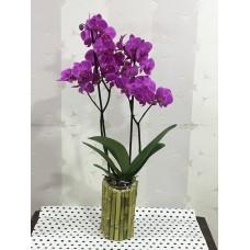 Bambu Saksıda Pembe Orkide