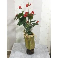 Kütük Bambu Saksıda Antoryum