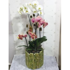 Bambu Saksıda Renkli Orkideler