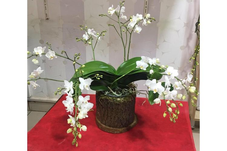Kütükte Mini Beyaz Orkideler