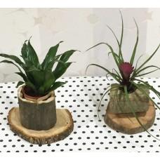 Kütük Üzeri Saksı Bitkileri