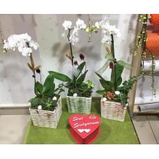 Beyaz Orkide Aranjmanları