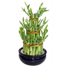 Saksıda Bambu