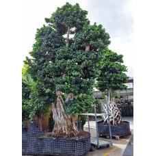 Büyük Boy Bonzai Ağacı