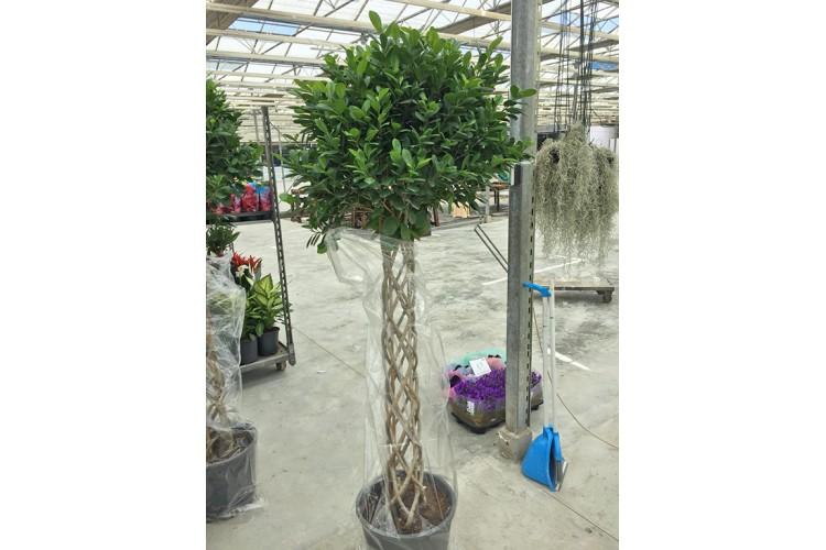 Burgulu Ficus
