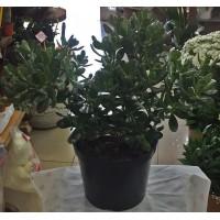 Saksıda Crassula Ağacı