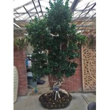 Özel Bonzai Ağacı