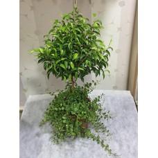 Saksıda Sarmaşık ve Ficus