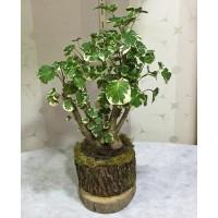 Kütük Saksıda Ficus Plocikas
