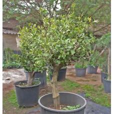 Büyük Boy Limon Ağacı