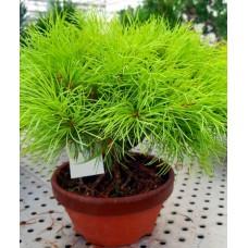 Özel Çam Bonsai Ağacı
