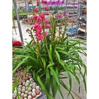 Ultra Boy Spidyum Orkide