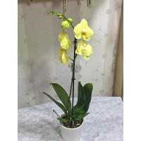 Saksıda Sarı Orkide