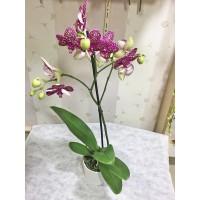 Saksıda Kırmızı Benekli Orkide