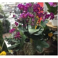 Saksıda Fuşya Orkideler