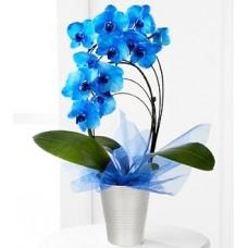 Saksıda Çember Mavi Orkideler