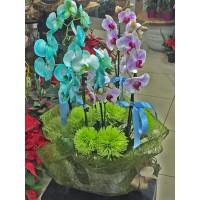 Saksıda Renkli Orkideler