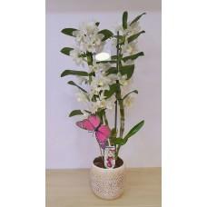 Beyaz Orkide Dendrobium