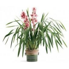 Saksıda Cymbidium Orkide