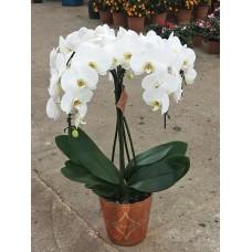 Saksıda Dörtlü Beyaz Orkide