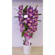 Mor Orkide Dendrobium
